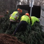 Workers looking over felled tree
