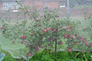 Kilos of fruit on our dwarf Lady Williams apple tree.