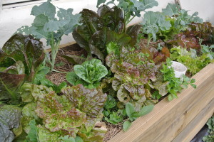 Six week old lettuces, brassicas and herbs in our new wicking bed.