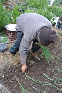 Manuel laying the seedlings flat into a trench