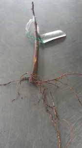A grafted apple tree ready to be planted.